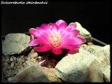 Cactus mini landscaping with Mammillaria Th_IMG_0040
