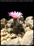 Cactus mini landscaping with Mammillaria Th_IMG_0058