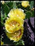 Mammillaria theresae Th_IMG_0069-1