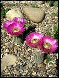 Cactus mini landscaping with Mammillaria Th_IMG_0070