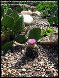 Cactus mini landscaping with Mammillaria Th_IMG_0071