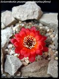 Cactus mini landscaping with Mammillaria Th_IMG_0078