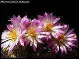 Mammillaria theresae Th_IMG_0079-1