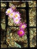 Mammillaria theresae Th_IMG_0082