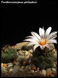 Cactus mini landscaping with Mammillaria Th_IMG_0084-1
