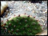 Cactus mini landscaping with Mammillaria Th_IMG_0087