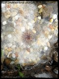 Cactus mini landscaping with Mammillaria Th_IMG_00912-1