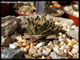 Cactus mini landscaping with Mammillaria Th_IMG_0133