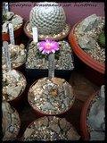 Cactus mini landscaping with Mammillaria Th_IMG_0291