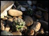 Cactus mini landscaping with Mammillaria Th_IMG_0309