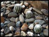 Cactus mini landscaping with Mammillaria Th_IMG_0312