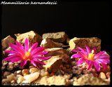 Mammillaria hernandezii  Th_IMG_03132