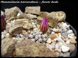 Mammillaria hernandezii  Th_IMG_0314-2