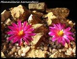 Mammillaria hernandezii  Th_IMG_03142
