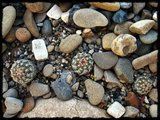 Cactus mini landscaping with Mammillaria Th_IMG_0315