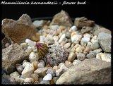 Mammillaria hernandezii  Th_IMG_0317-3