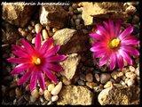 Mammillaria hernandezii  Th_IMG_0319-2