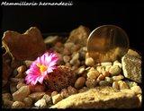 Mammillaria hernandezii  Th_IMG_0324-1