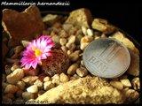 Mammillaria hernandezii  Th_IMG_0327-1