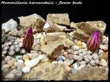 Mammillaria hernandezii  Th_h2