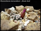 Mammillaria hernandezii  Th_hernand