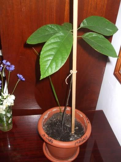 mon Avocatier-Persea americana 15095895_MRCBIRHDQ