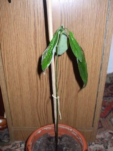 mon Avocatier-Persea americana 16048331_YKBUWNPND