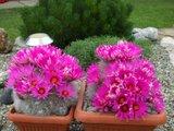 The most beautiful Krainzias (Mammillaria guelzowiana) Th_DSCF8186
