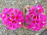 The most beautiful Krainzias (Mammillaria guelzowiana) Th_DSCF8188