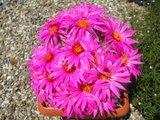 The most beautiful Krainzias (Mammillaria guelzowiana) Th_DSCF8645