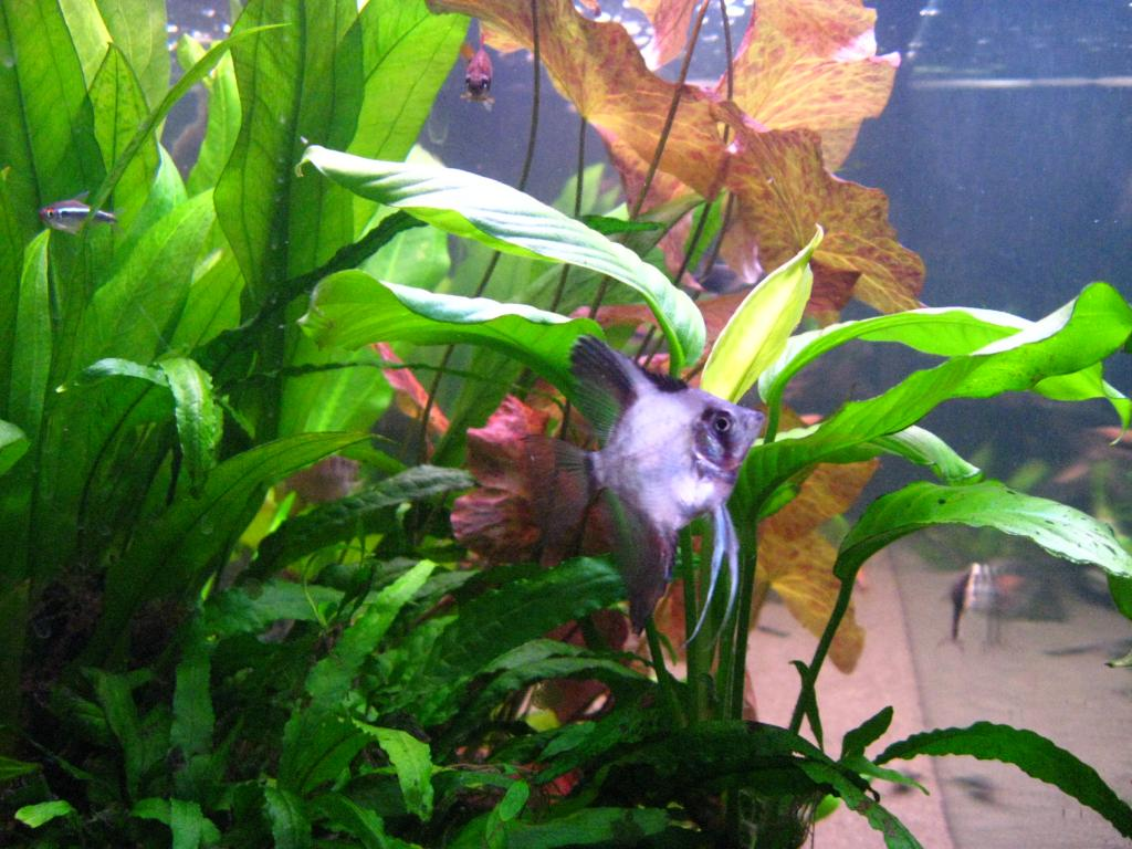 New Angelfish - but what are they? 012_zpsbabc202a