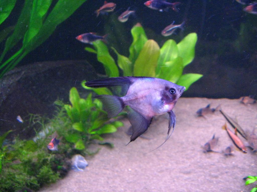 New Angelfish - but what are they? 039_zps8b8c66c2