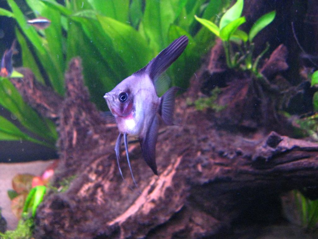 New Angelfish - but what are they? 041_zps8a006c35