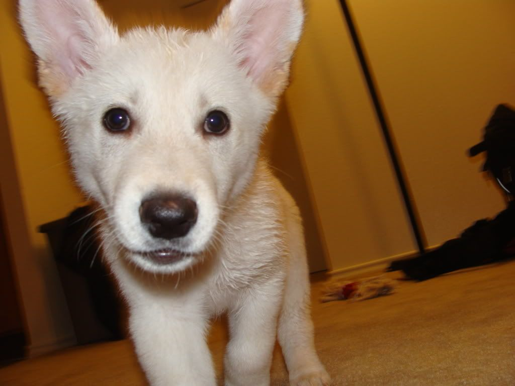 Hey guys! Would any of you like to tell me if my pup looks part husky?? 038
