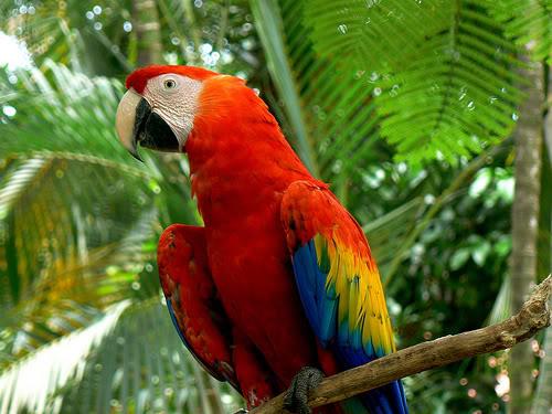 AVES DEL MUNDO... - Página 20 Aves-guatemala