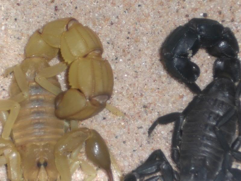 A.mauritanicus metasoma compared to A.australis CIMG0558