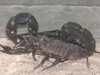 Androctonus baluchicus Light-couple