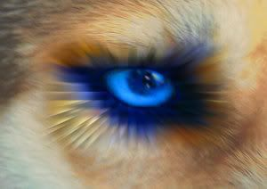 Interesting Images.. - Page 5 Blue_eyed_by_nanogology