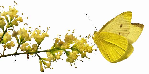 هل زالت الام مدرسة << للنقاش Graphics-butterflies-481493