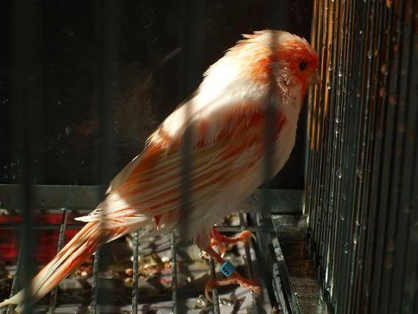 Temporada de cría 2012 (sylvester) Mosaicobao2redu