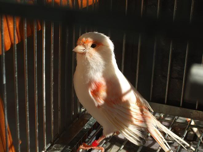 Temporada de cría 2012 (sylvester) Mosaicobao8hembraredubuena