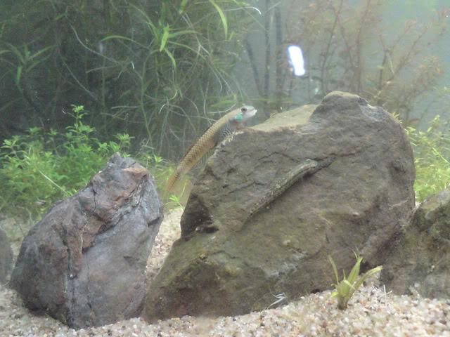 Stiphodons ornatus [GOBIES] DSC01421