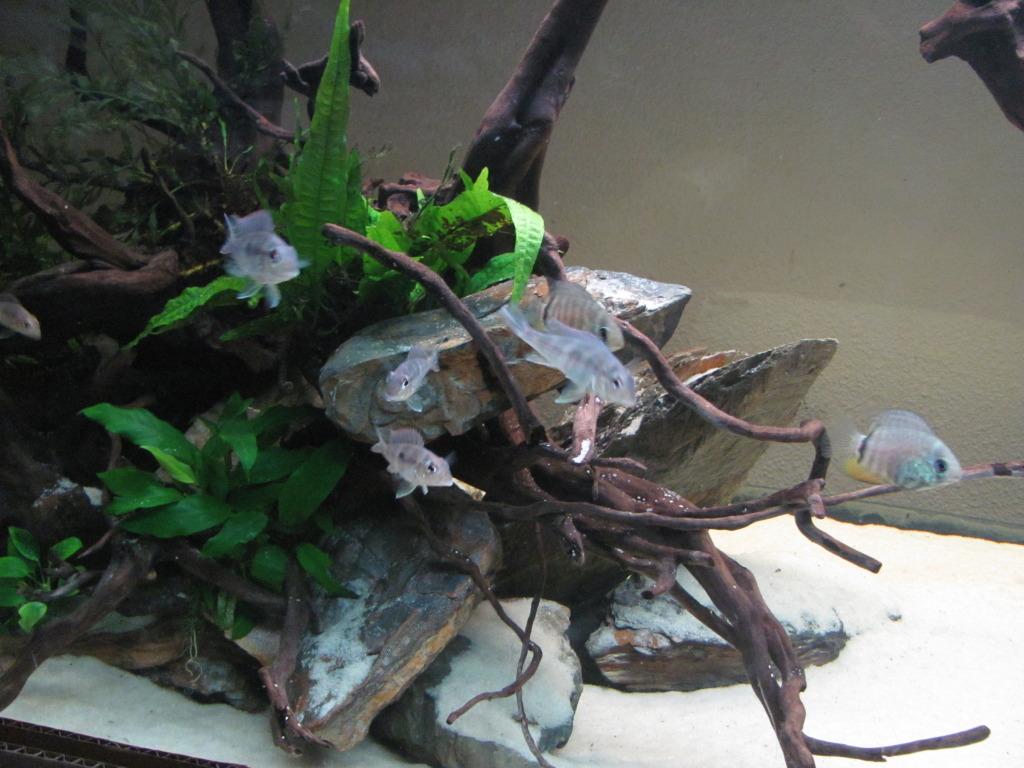 Aquarium 700l amerique du sud (santarem, rio tapajos) IMG_1575-1