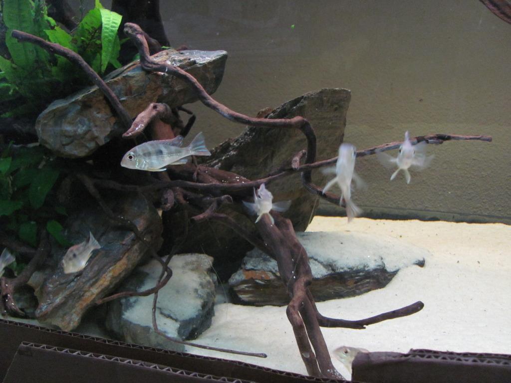 Aquarium 700l amerique du sud (santarem, rio tapajos) IMG_1583