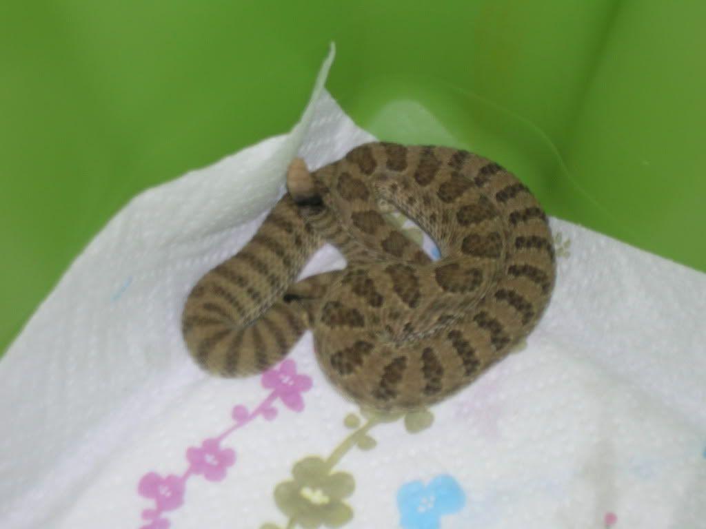 New Rattlesnakes DSCN2673