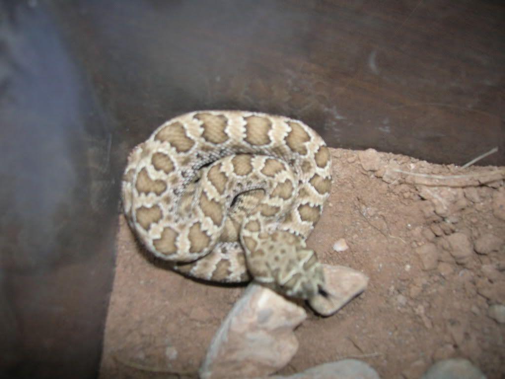 New Rattlesnakes DSCN2688