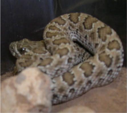 New Rattlesnakes DSCN2689