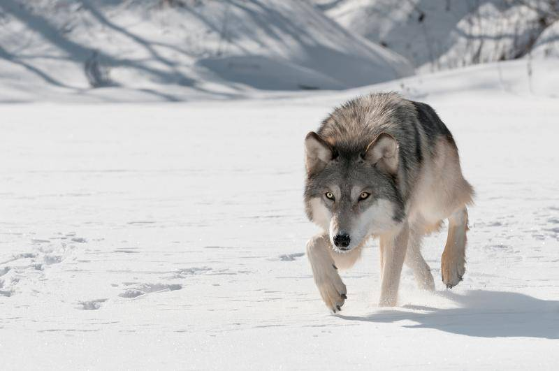 Aleu Joining Profile 1-bigstock-Grey-Wolf-Canis-lupus-Stalks-44515036_zps39cb4841