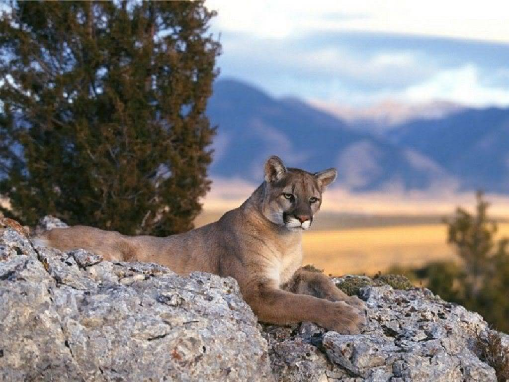 ~*Gwynnth*~ Mountain_Lion