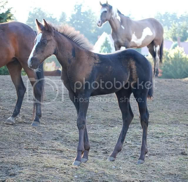 APHA Registered Weanling Fillies for sale. Storm8-3-08